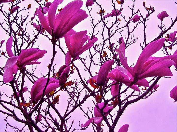 Edited magnolias