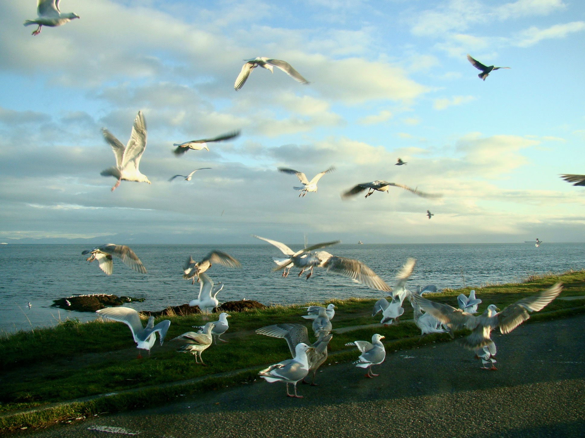 Seagulls at Clover Point