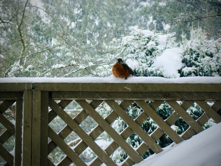 Robin sitting on a fence in a West Coast snowstorm